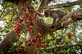 Closeup of a  macaque eating fruit from a tropical tree on the bank of the Kinabataga River on the island of Borneo, Malaysia