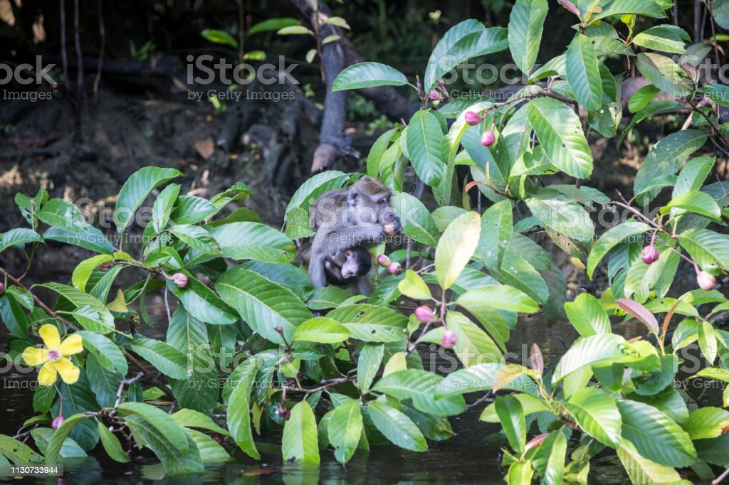 Closeup of a macaque eating fruit from a tropical tree on the bank of...