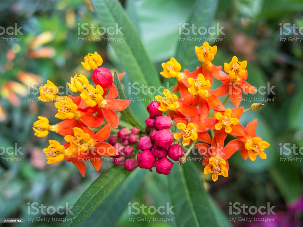 Tropical Milkweed (Asclepius curassavica) in Uganda stock photo