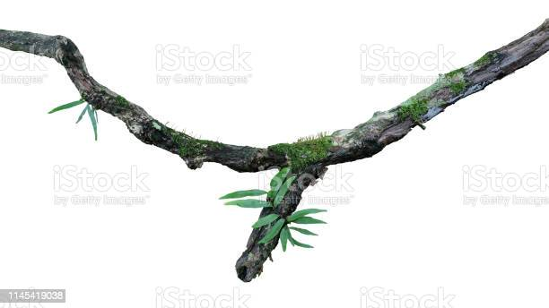 Photo of Tropical moist forest epiphytes (fern, moss and lichen) grow on old weathered jungle tree branch isolated on white bacground, clipping path included.