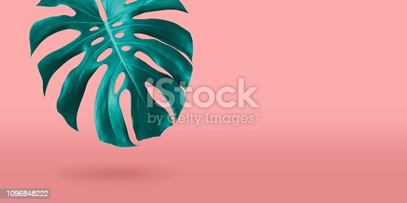 istock Tropical monstera leaf on coral color background minimal summer 1096848222