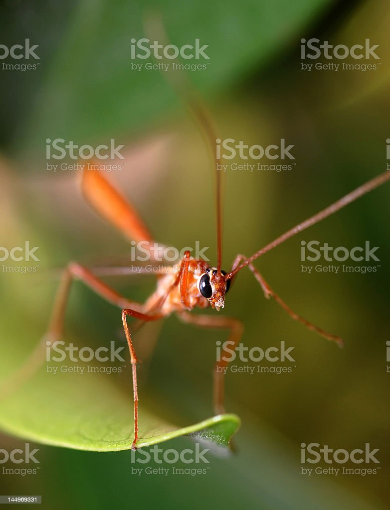 tropical mosquito portrait of a tropical red mosquito on a green foliage Aedes Mosquito Stock Photo