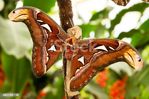 istock Tropical moth: Attacus Atla 480268136