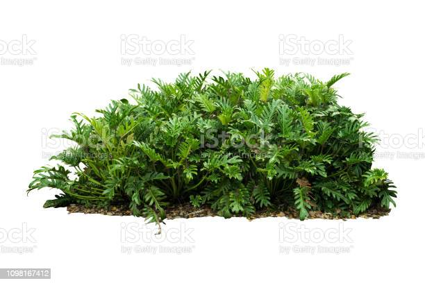 Tropical nature green plant isolated include clipping path picture id1098167412?b=1&k=6&m=1098167412&s=612x612&h=yvojqjsm togticj e cvgpd4n0up pihp uxnoewdy=