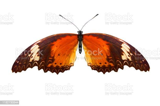 Tropical orange butterfly isolated on white background picture id1132730344?b=1&k=6&m=1132730344&s=612x612&h=tcyz5 gvn6ubefh9bj8 smpigbjnx06f85btn wy5xs=