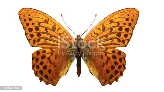 orange butterfly with leopard spots. isolated on white background