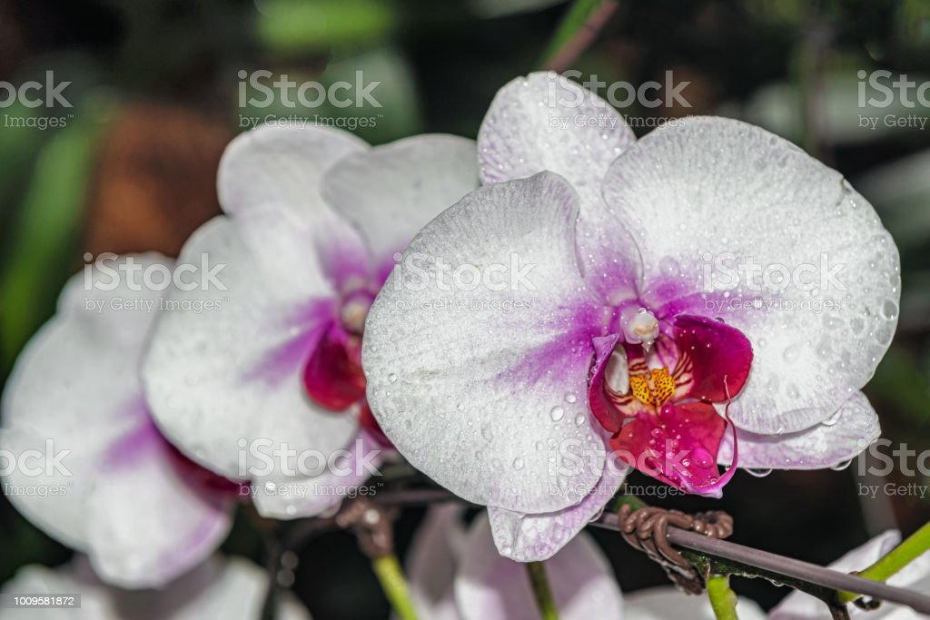 Tropische orchidee bloemen op The National Orchid Garden in de Singapore Botanic Gardens.​​​ foto