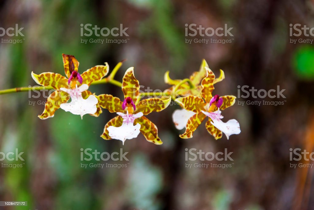 tropical orchid in Guatemala, latin America. stock photo