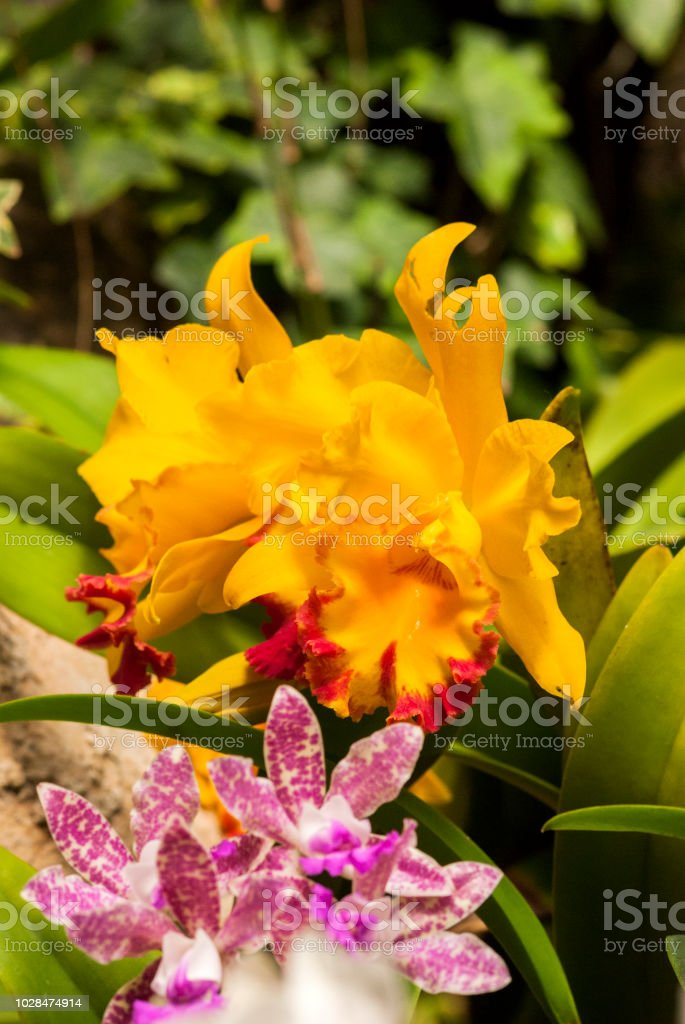 tropical orchid in Hong Kong stock photo