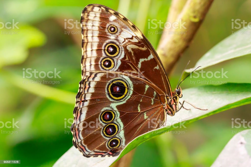 tropical Owl butterfly Caligo feeding and resting on flowers and rainforest vegetation stock photo