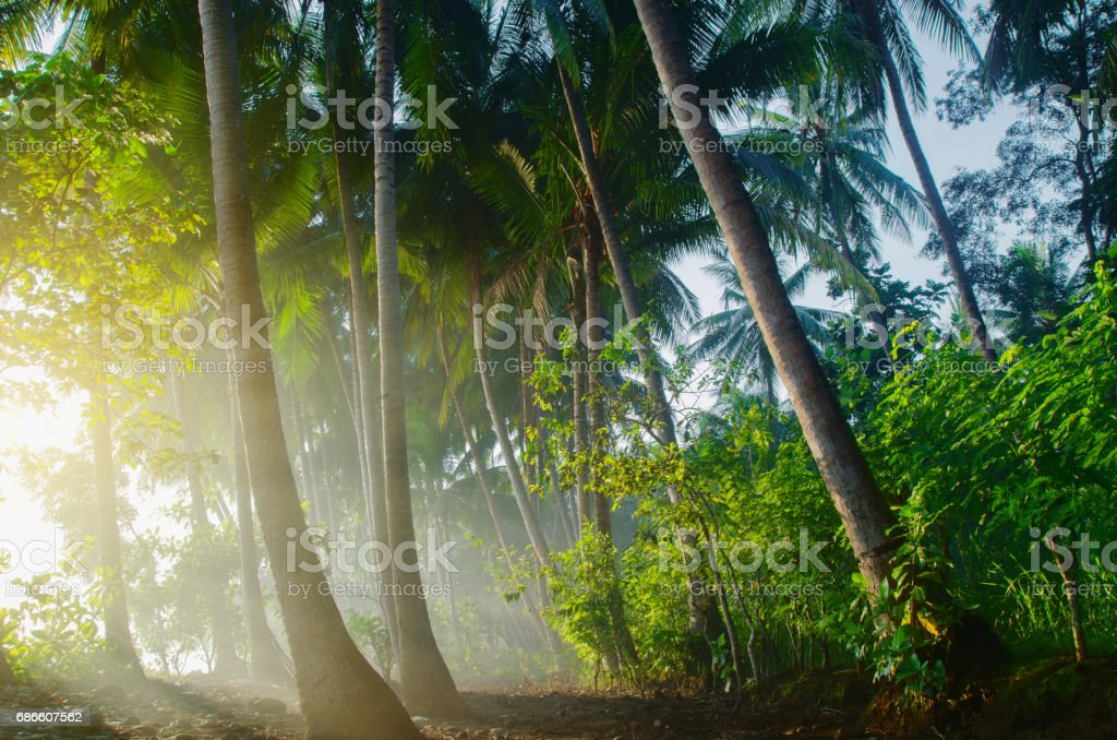 tropical palm forest in morning mist - sunrise royalty-free stock photo
