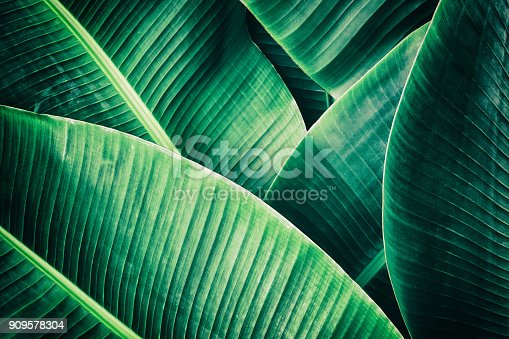 909846922 istock photo tropical palm leaf, dark green toned 909578304