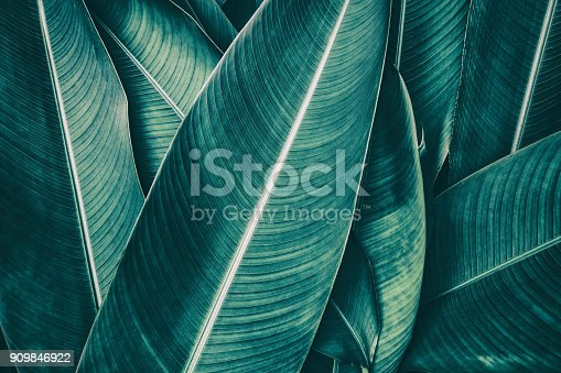istock tropical palm leaf, dark green toned 909846922