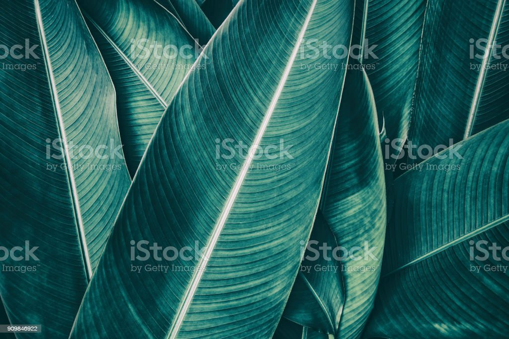 tropical palm leaf, dark green toned stock photo