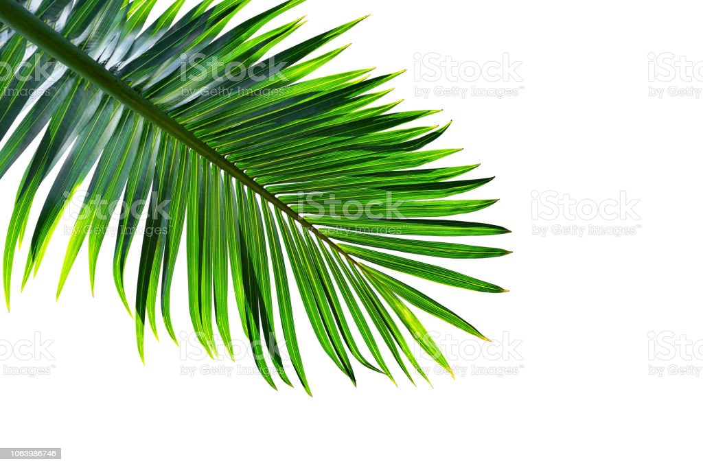 tropical palm leaf isolated on white background, clipping path included royalty-free stock photo