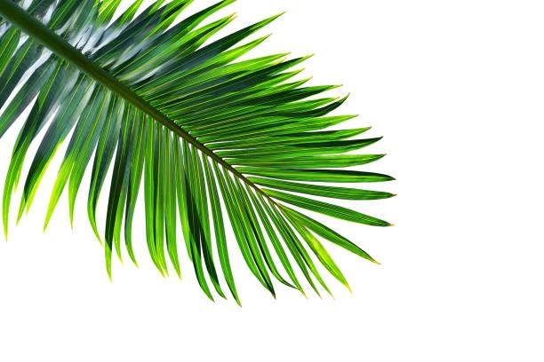 tropisk palm leaf isolerad på vit bakgrund, urklippsbana ingår - palm bildbanksfoton och bilder