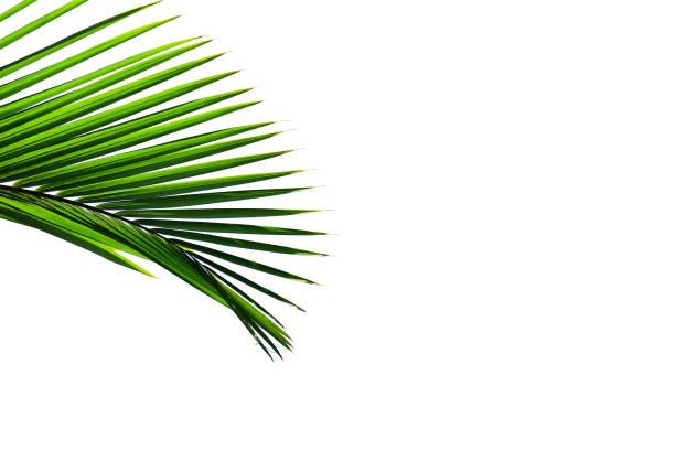 tropischen palmblatt isoliert auf weißem hintergrund - horizontal gestreiften vorhängen stock-fotos und bilder