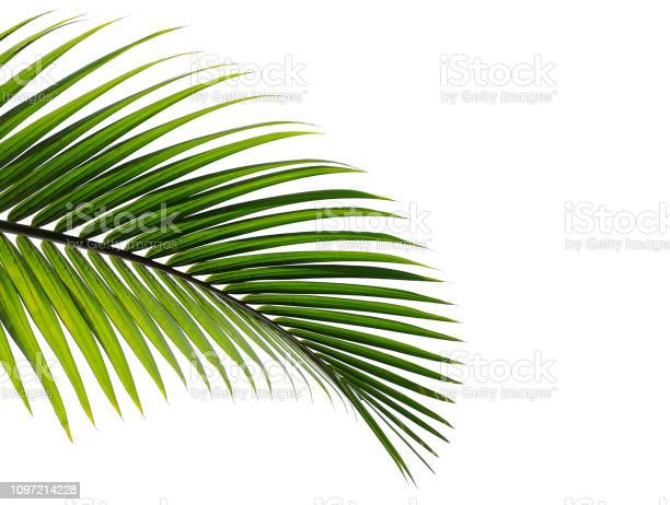 Tropical palm leaf isolated on white background picture id1097214228?b=1&k=6&m=1097214228&s=612x612&h=thxm7s4o5mrdrhr ecuc5v98zsjxdnpgtfiypjhc6fo=