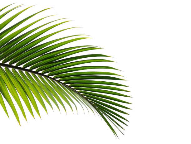 beyaz arka plan üzerinde izole tropikal palmiye yaprağı - leaves stok fotoğraflar ve resimler