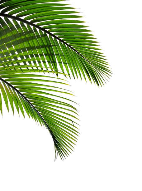 tropiska palmblad isolerad på vit bakgrund - palm bildbanksfoton och bilder
