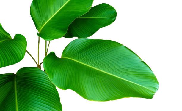 tropischen palmblatt isoliert auf weiss - tropischer baum stock-fotos und bilder
