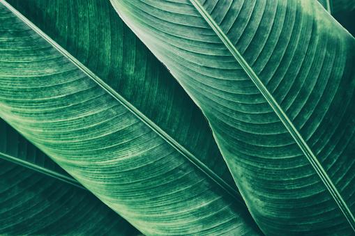 tropical large palm leaf background, dark green toned