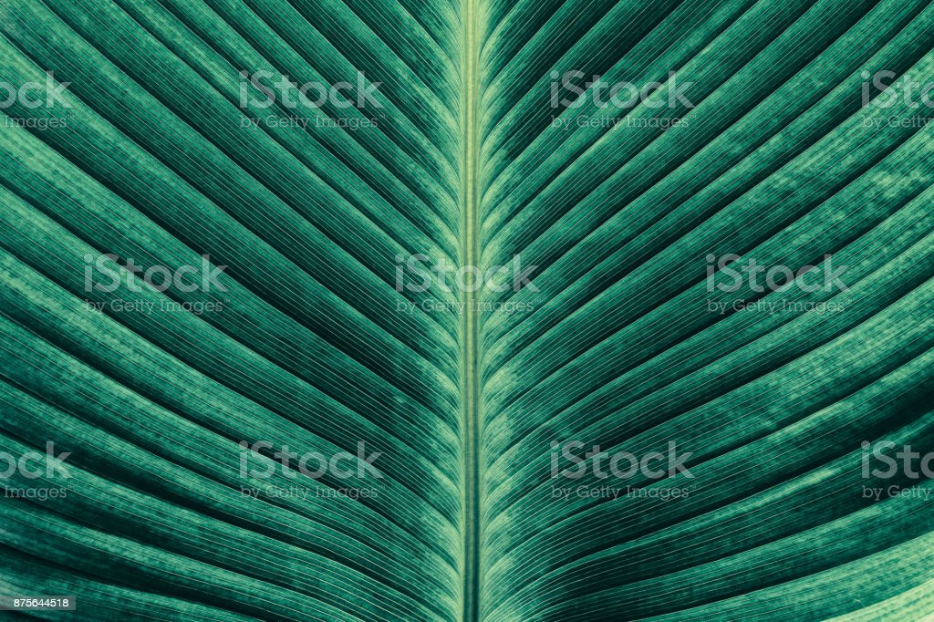 tropical palm leaf texture backgrounds stock photo
