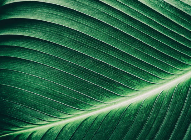 tropical palm leaf texture, dark green background stock photo