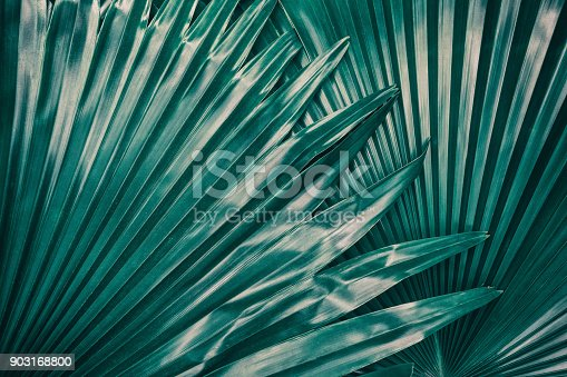 909846922 istock photo tropical palm leaf texture, dark green foliage for background 903168800