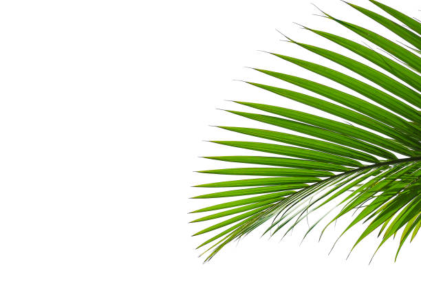 tropical palm leaves isolated on white green leaf isolated on white background for design elements exoticism stock pictures, royalty-free photos & images