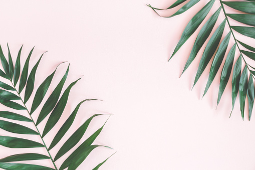 Tropical Palm Leaves On Pastel Pink Background Flat Lay Stock Photo Download Image Now Istock In this clipart set you will receive 34 individual png files with transparent backgrounds. tropical palm leaves on pastel pink background flat lay stock photo download image now istock