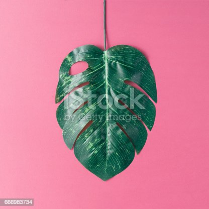 666980960 istock photo Tropical palm leaves on pink background. Minimal nature summer concept. Flat lay. 666983734