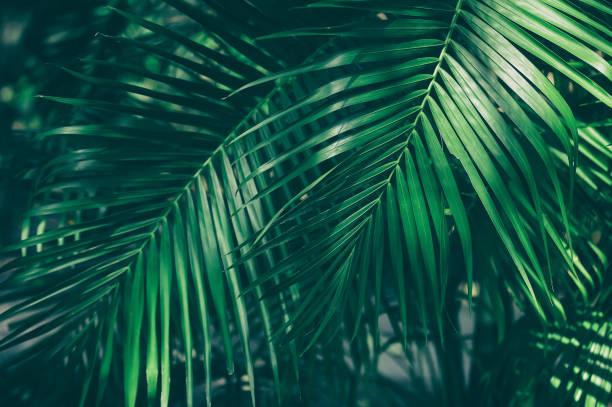 tropiska palmblad - palm bildbanksfoton och bilder