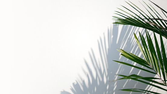 Tropical palm leaves with shadows on white concrete wall abstract blurred tropical background.