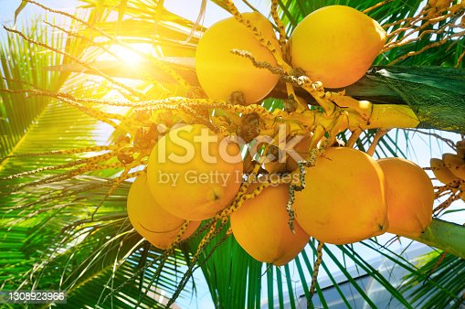 Tropical palm tree with yellow coconut against the blue sky