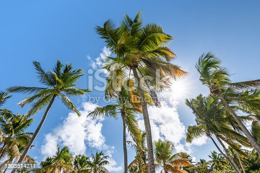 Low angle view of exotic swaying coconut palm trees against a blue sky with clouds and sun. Nature landscape of the Dominican Republic, Caribbean.