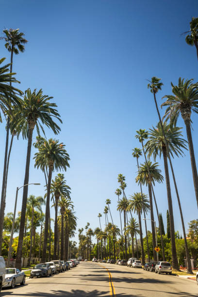 Tropical palm trees line the street in Hollywood California USA Sun shines through palm trees by the Sunset Strip in Los Angeles California USA hollywood boulevard stock pictures, royalty-free photos & images