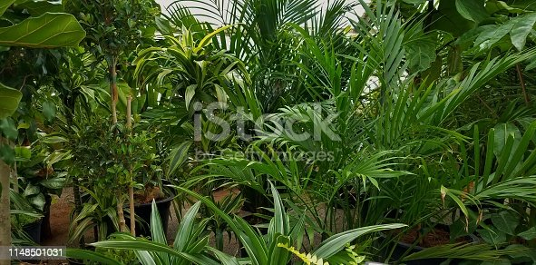 Large grouping of different palm trees and ferns, plenty of greenery, in a large greenhouse scene