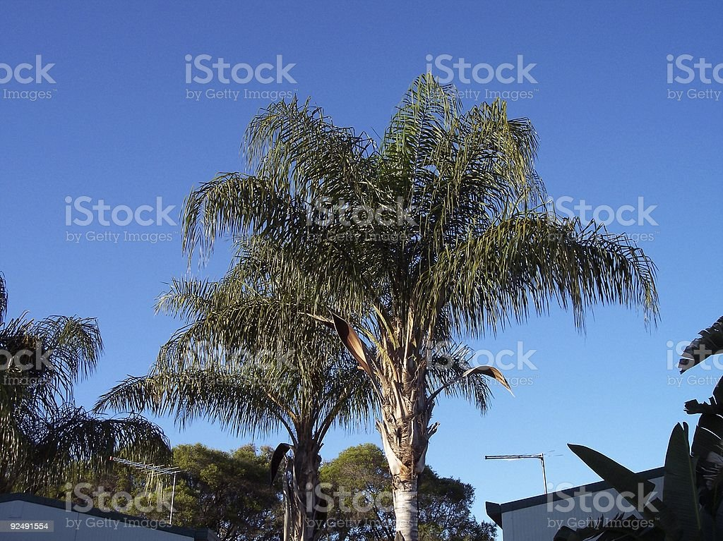 Tropical palms royalty-free stock photo