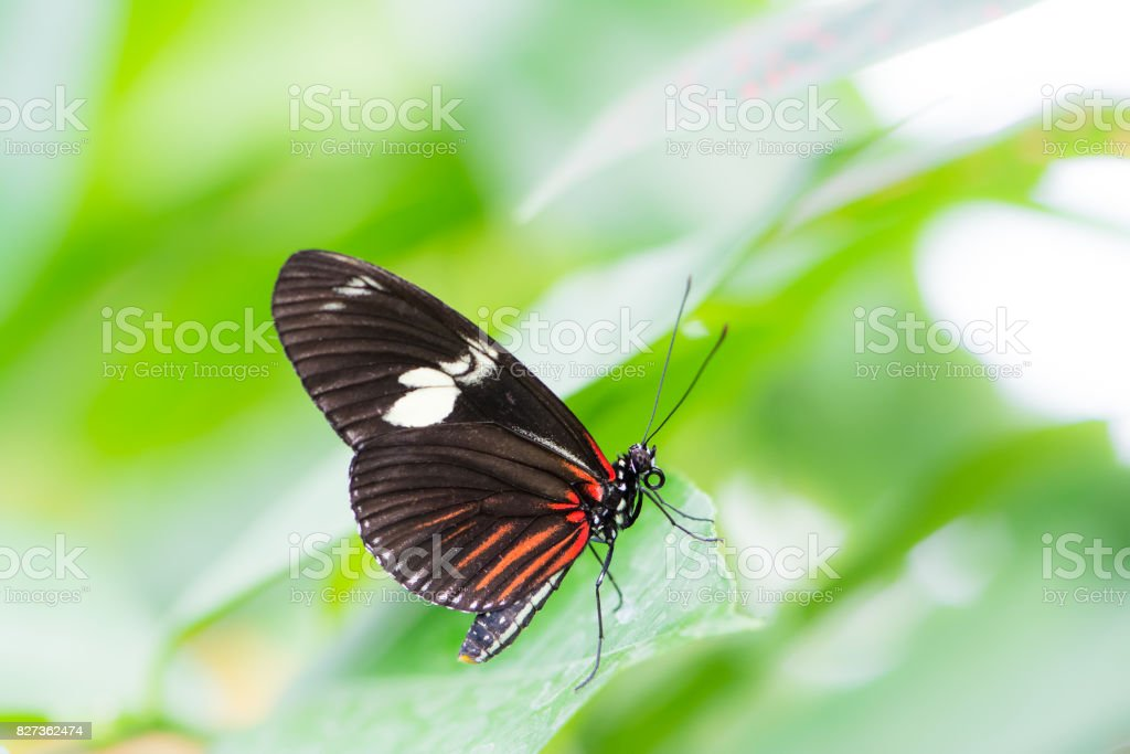 Tropical Passion-vine butterfly stock photo