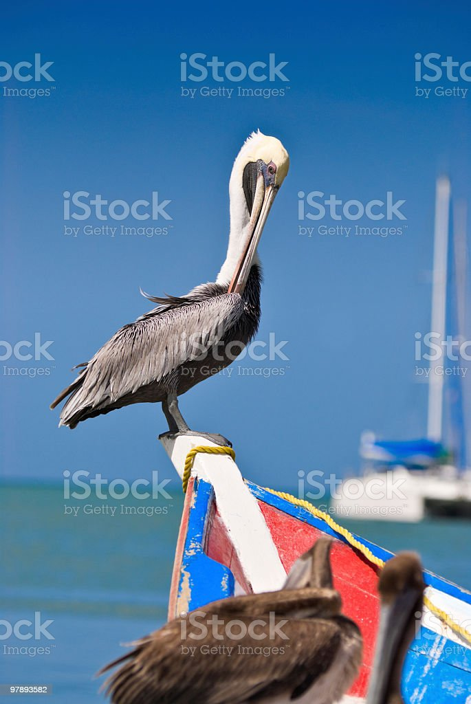 Tropical Pelican royalty-free stock photo