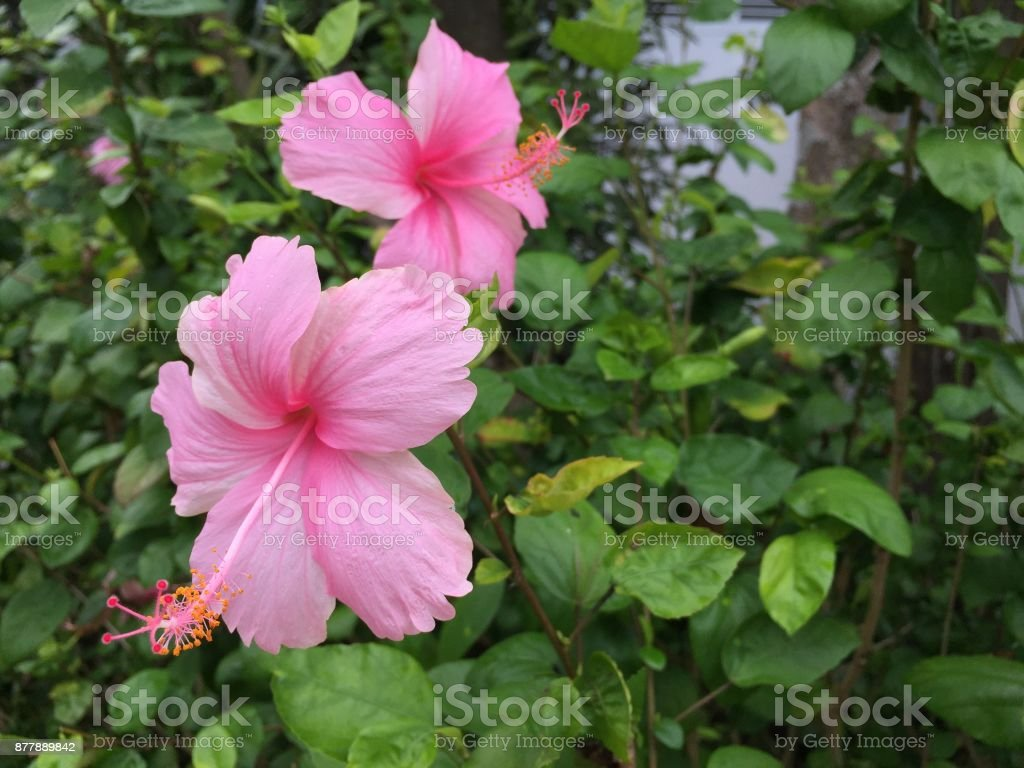 Tropical Pink Color Flower On Green Leaves Back Ground Stock Photo