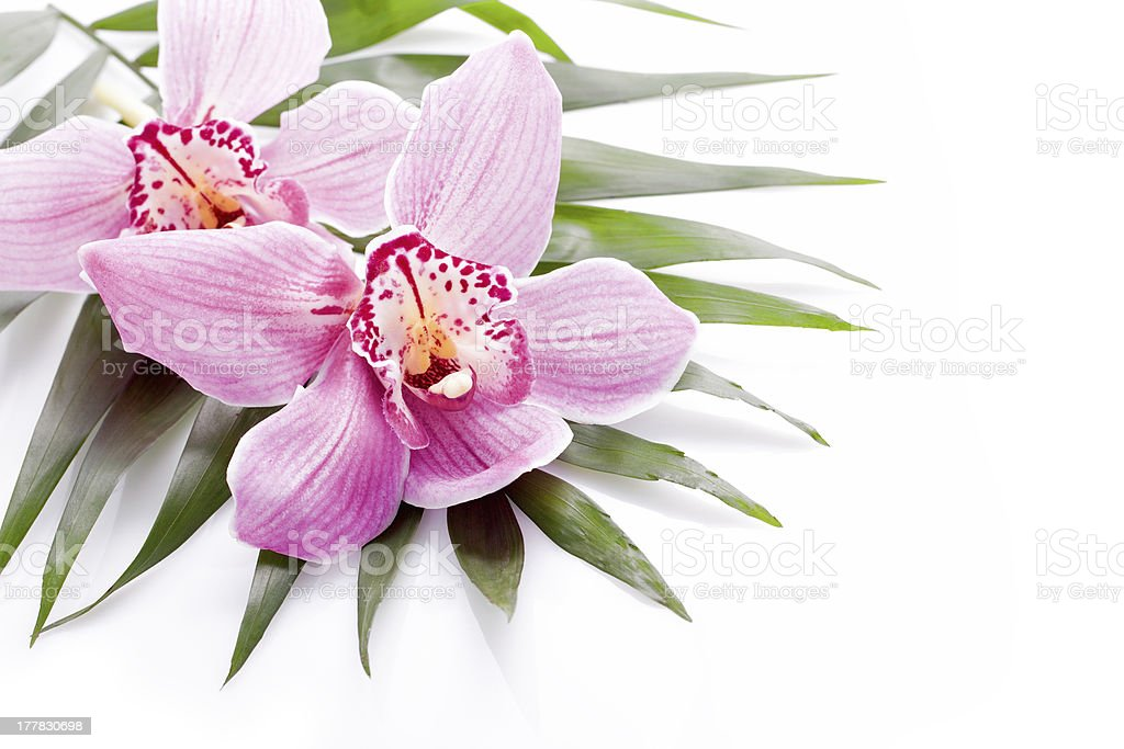 tropical pink orchid plant flower royalty-free stock photo
