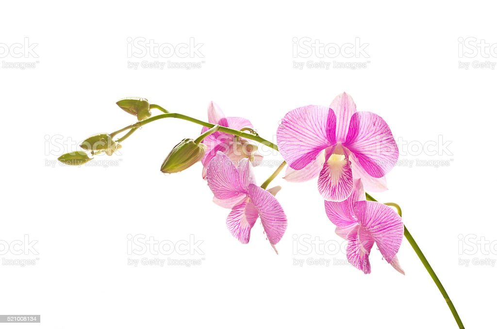 Tropical pink streaked orchid flower isolated white background stock photo