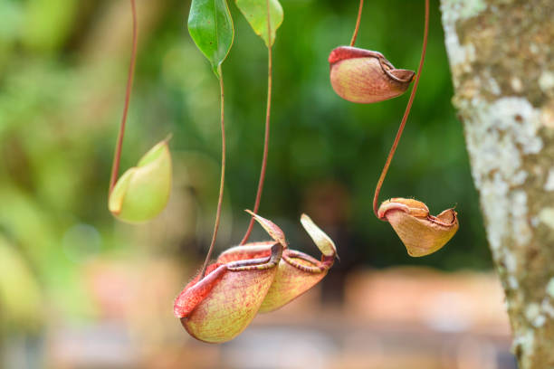 tropical pitcer plants Nepenthes,Tropical pitcher plants and Monkey cups carnivorous stock pictures, royalty-free photos & images