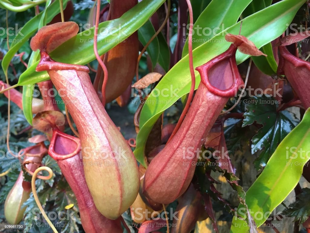 Tropical Pitcher Plant, Nepenthes stock photo