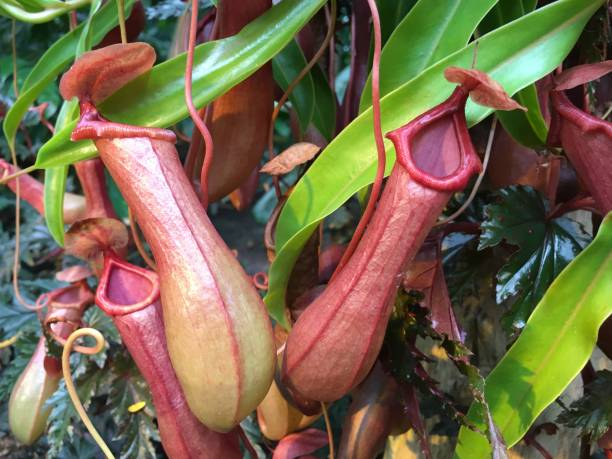Tropical Pitcher Plant, Nepenthes Purple Meat Eating plant, Tropical Pitcher Plant, Nepenthes carnivorous stock pictures, royalty-free photos & images