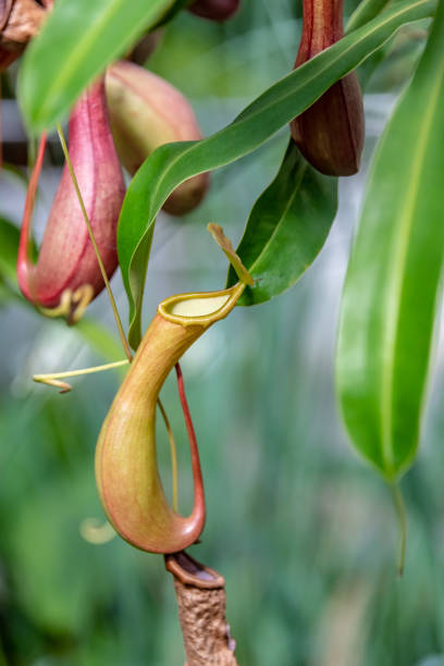 Tropical Pitcher Plant Tropical Pitcher Plant carnivorous stock pictures, royalty-free photos & images