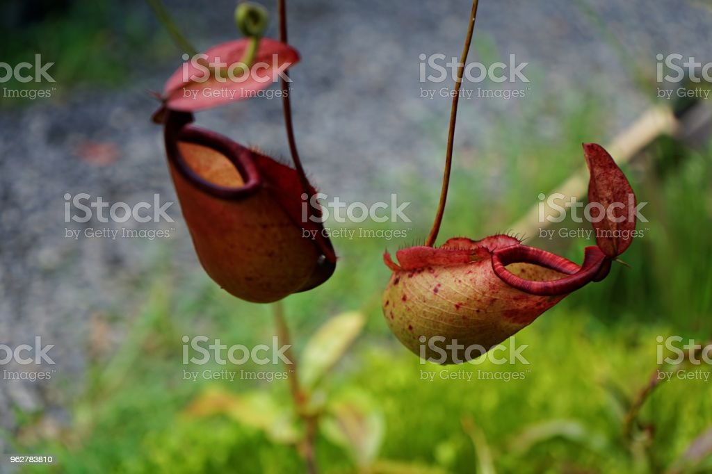 Tropical pitcher plant with many flower cups, carnivorous plant eating insect, climbing plant - Foto stock royalty-free di Animale