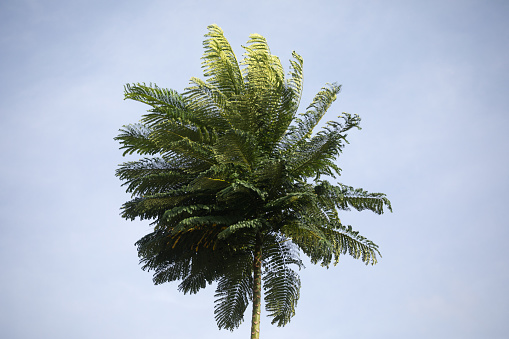 Tropical plam tree in wind